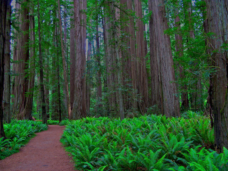 Stout Grove, Jedediah Smith Redwoods State Park