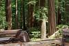 Humboldt Redwoods State Park, Humboldt Co., CA