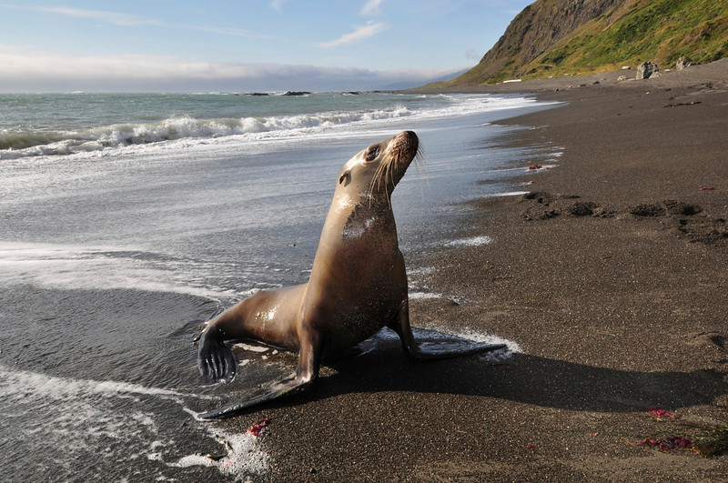California Sea Lion, Punta Gorda, Lost Coast, Humboldt Co., CA.