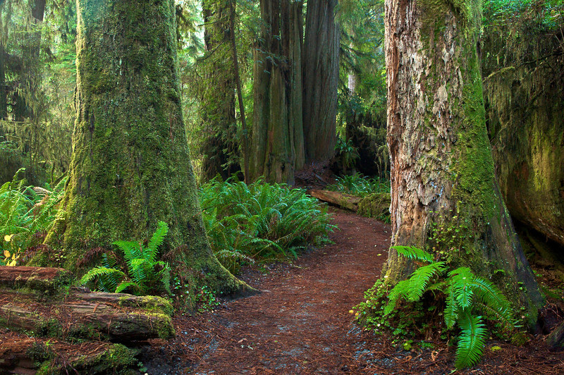 Simpson - Reed Grove, Jedediah Smith Redwoods State Park, CA.
