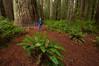 Stout Grove, Jedediah Smith Redwoods State Park, CA.