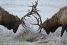 Roosevelt Elk, Prairie Creek Redwoods State Park, CA.