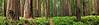 Stout Grove Pano, Jedediah Smith Redwoods State Park