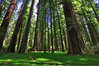 Rockefeller Grove, Humboldt Redwoods State Park, CA.