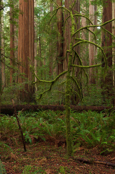 Near Albee Creek, Humboldt Redwoods State Park, CA.