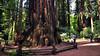 Henry Cowell Redwoods State Park, Santa Cruz, CA