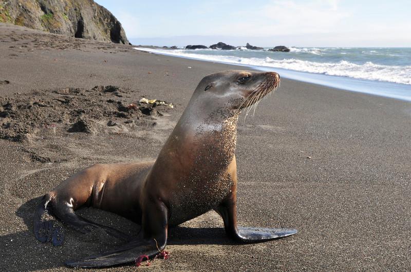 California Sea Lion, Punta Gorda, Lost Coast, Humboldt Co., CA.