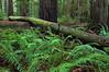 Rockefeller Grove, Bull Creek Flat, Humboldt Redwoods State Park, CA