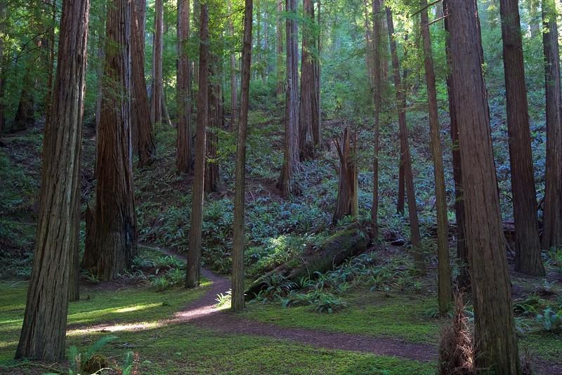 Bull Creek Flats, Humboldt Redwoods State Park, Humboldt Co., CA