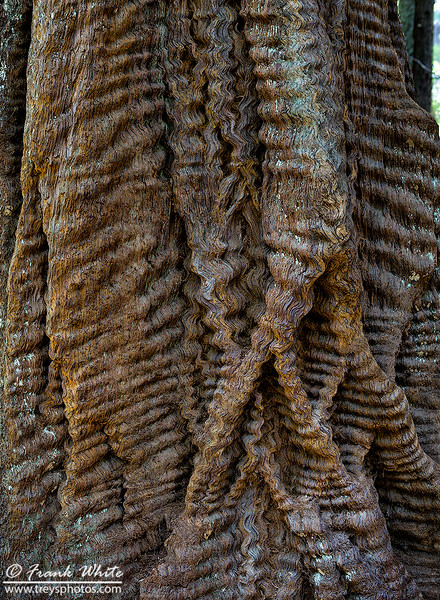 Redwood Bark #3