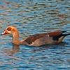 Egyptian Goose...
