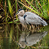 Great Blue Heron, with a fresh catch...