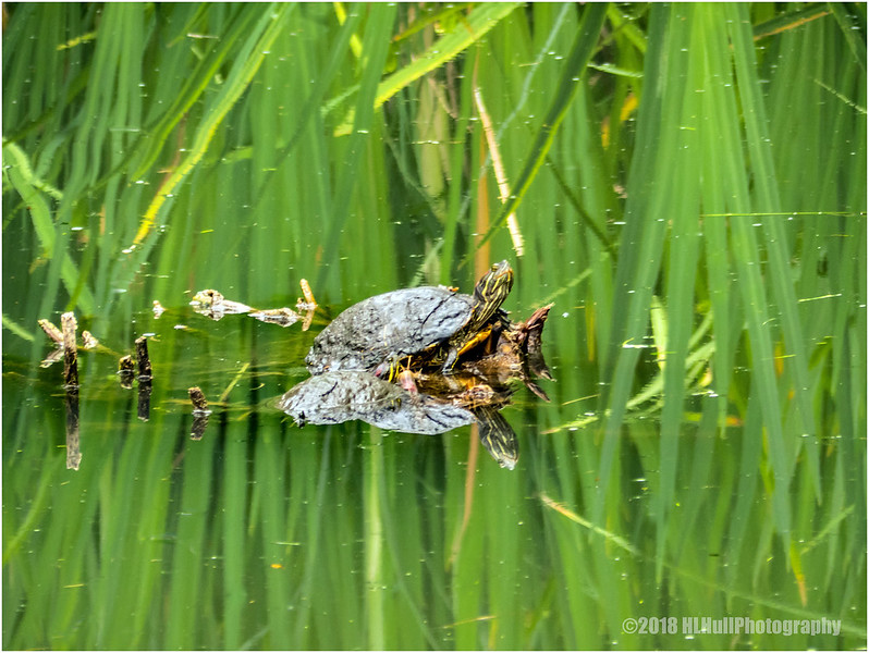 Water turtle...