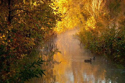 Mallard Morning Minnesota - This is a case of disappointment turning into opportunity.  I was anxious to go out on the nature preserve viewing stand and shoot the great sunrise.  However, the floods from down in Southern Minnesota pushed the Minnesota river over its banks and the paths were all flooded.  These mallards were on the path that I would normally take to the viewing stand.....Spent the whole morning shooting them instead....planning helps, but you better be flexible.