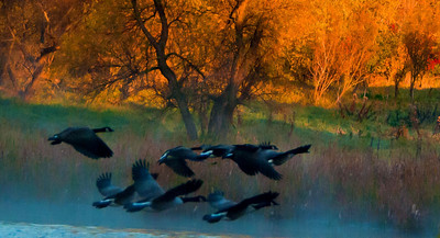 Taking Flight - Another opportunity presented itself that same morning as the mallards....These geese just took off out of the lake .....didn't even see them until they were in flight.  Once they were airborne I just spun around and held my finger on the trigger.....what a great morning full of surprises!!