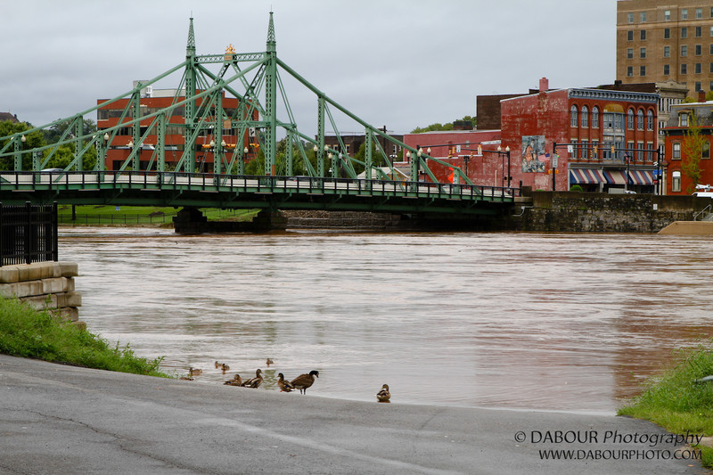 Apparently the river is too high for the ducks to swim as they take a rest on a boat ramp
