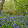 Bluebells and River Tees