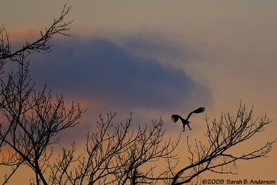 eagle-enhanced sunset Potomac River Fairfax County, Virginia February 2009