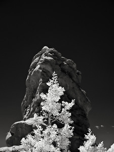 Juniper, Arches National Park Infrared