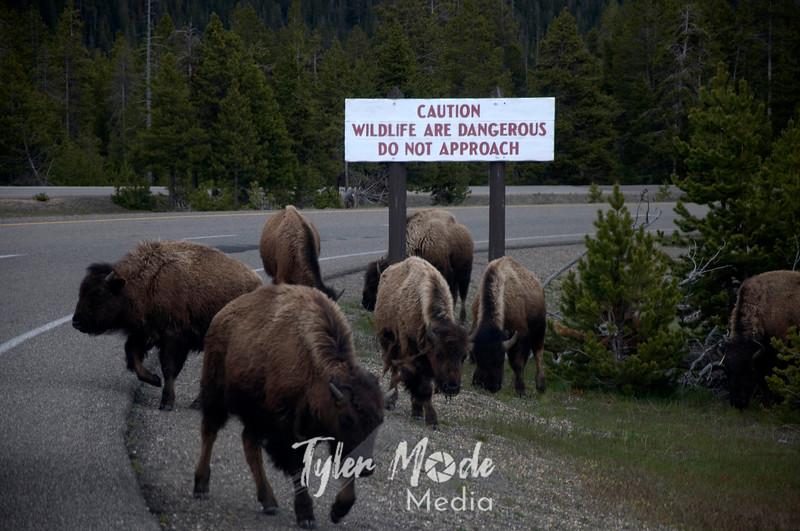 226  G Bison on Road