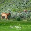 176  G Elk At Mammoth