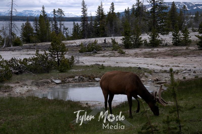 391  G Elk at West Thumb