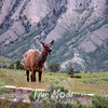 164  G Elk Near Mammoth