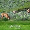 177  G Elk At Mammoth