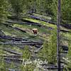 206  G Cinnamon Black Bear Indian Creek