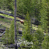199  G Cinnamon Black Bear Indian Creek