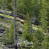199  G Cinnamon Black Bear Indian Creek