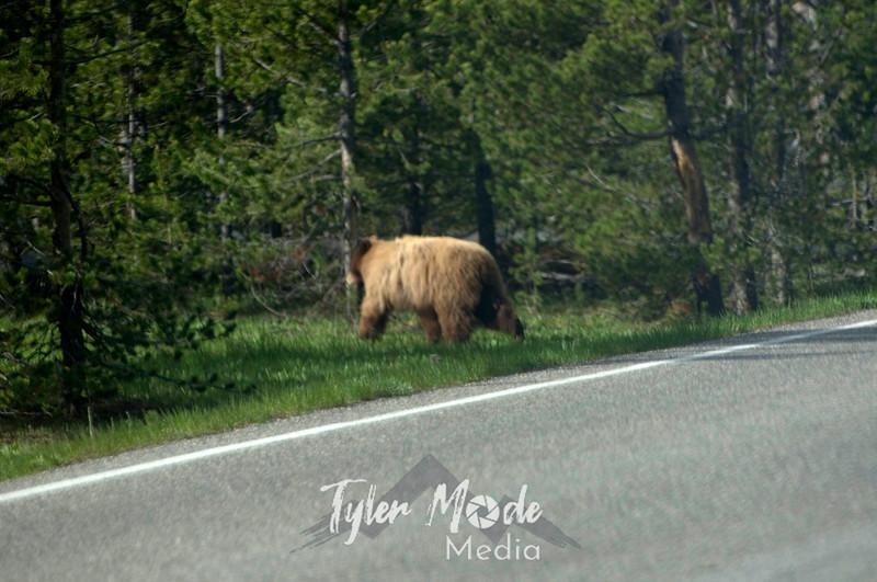 185  G Cinnamon Black Bear Indian Creek