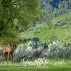 174  G Elk At Mammoth