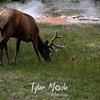 383  G Elk at West Thumb