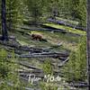 208  G Cinnamon Black Bear Indian Creek