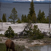 393  G Elk at West Thumb V View