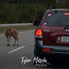 240  G Bison Calf on Road