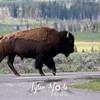 458  G Bison On Road