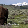470  G Bison and Mountains