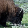 472  G Bison