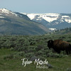 467  G Bison and Mountains