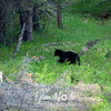 525  G Black Bear Near Tower