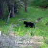 525  G Black Bear Near Tower
