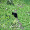 503  G Black Bear Near Tower