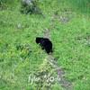 503  G Black Bear Near Tower