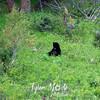 519  G Black Bear Near Tower