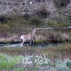 416  G Deer at River