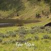 487  G Bison at Phantom Lake