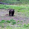 713  G Black Bear