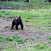 715  G Black Bear